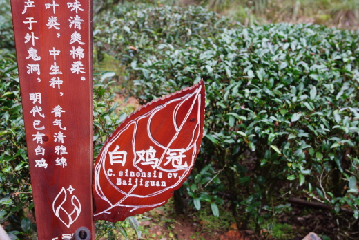 wuyi_tea_19